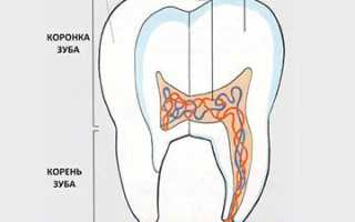 Строение молочного зуба