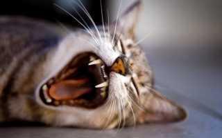 Есть ли молочные зубы у котов